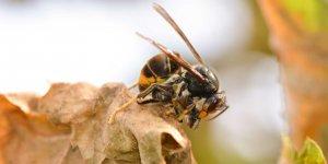Un frelon asiatique tuant une abeille